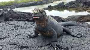 Marine iguana from Galapagos islands